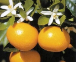 The very fragrant calamondin flower and its fruit